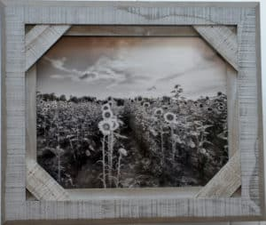 Black and white photo of sunflower field by michelle wittensoldner